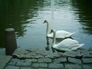 Лебеди в Софиевке