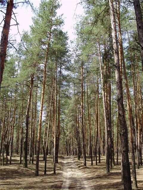 лес в Щурово