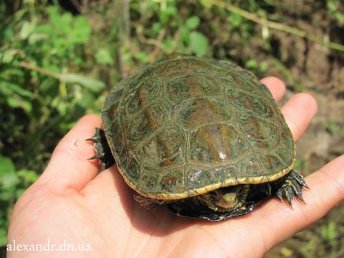турецкая черепаха