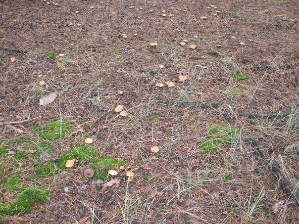Красный Лиман грибы